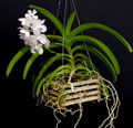 Monopodial Orchid Growth