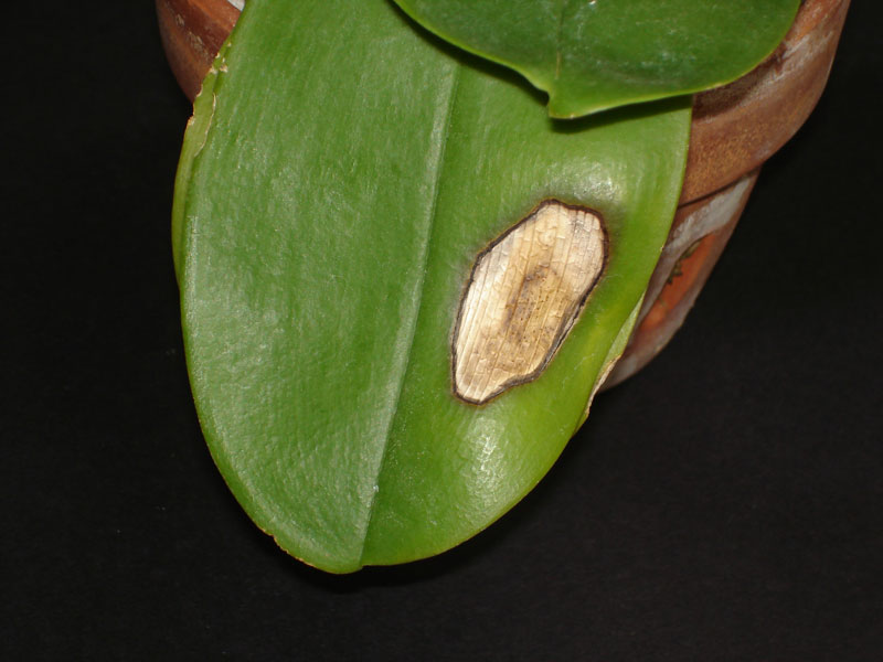 Sunburned Orchid Leaf