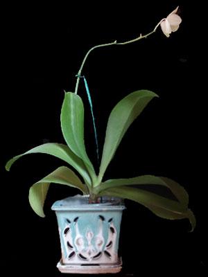 Phalaenopsis Orchid Care